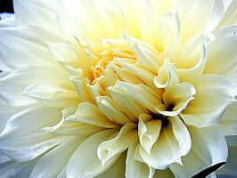 White Dahlia by dmguthery
