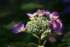 hydrangea after the rain by Nexu4