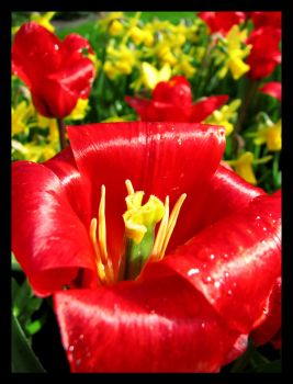 Red Tulip by SurfGuy3