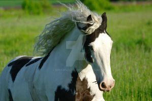Gypsy vanner by Breezfully