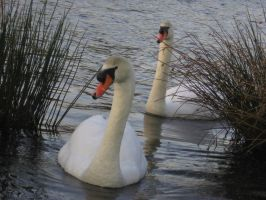 the swans by Mado29