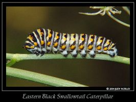 Eastern Black Swallowtail by Tazzy-