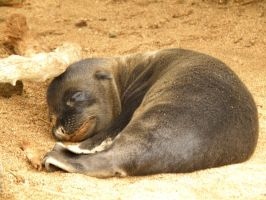 Baby Sea Lion Sleeps Tonight by AfroDitee