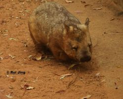 Wombat finding for food by GreenNexus51
