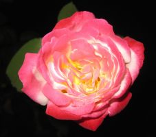 Rose 052115 03 by acurmudgeon