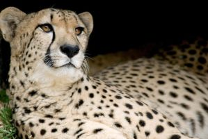 Cheetah 16 by Art-Photo