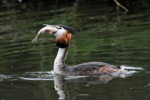 Greedy Grebe by SnowPoring