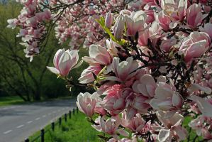 13-04 Magnolia flowers by evionn