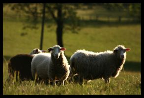 Sheeps by heaen