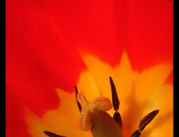 Red Tulip 390 by caybeach