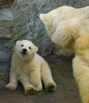 polar bear baby by miezbiez