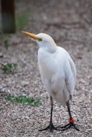 Cattle Egret by Nawamane