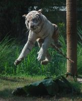 White tiger jumping 2 by AngiWallace