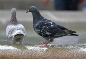 Pigeon 2 by cendredelune
