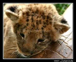 Baby Faced Lion by Justaminute