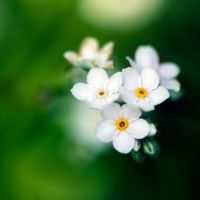 White Forget Me Not by CecilyAndreuArtwork