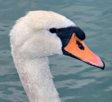 The Swan 2 by Astrantia01