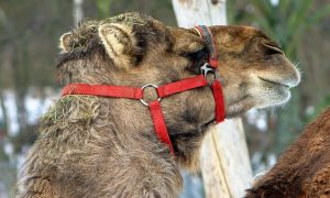 Pensive dromedary by UdoChristmann