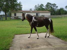 Black Tobiano Modern Shetland Filly 5 by KoerGraphic