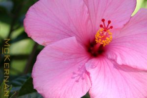 Hibiscus in the Afternoon by mechanic