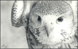 Hawk Eyes by wildpaintings