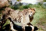 Cheetah on the Prowl by bluewhale13