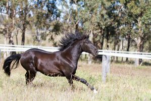 HH Black Andalusian mane up by Chunga-Stock