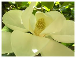 Shaded Magnolia by Cillana
