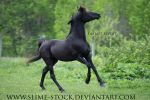 solid black arabian stallion head toss canter by slime-stock