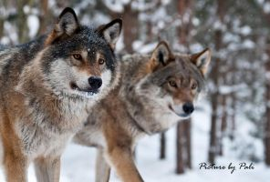 The leaders of the pack_2 by PictureByPali