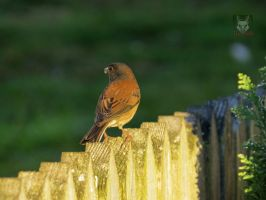 Junco On A Fence by wolfwings1