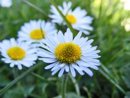 Daisies by Hixybabes
