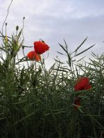 Last day of the poppies: one by HSM-Version-42a