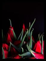 Valentine Tulips. by photonig