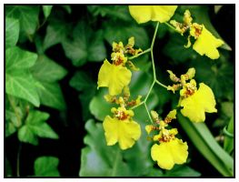 Tiger Orchids by Sunira