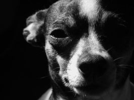 Chihuahua BW by sentry-sight