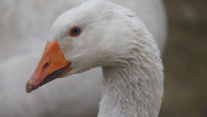 Goose Face by saiquarx