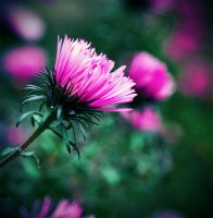 Autumn asters II by Chibasenka