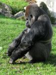 Wild animal 248 - thinking gorilla by Momotte2stocks