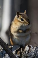 Chipmunk III by littleheinrichsmom
