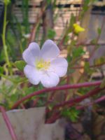 Indian Winter Tiny Flower 10 by SRUJAL