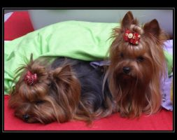 Yorkshire terrier by markus48