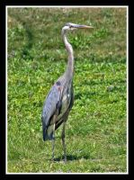 Blue Heron 1 by Speedbird1961