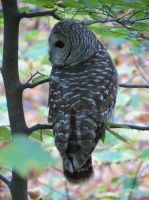 Barred Owl at dusk by artmusiccw
