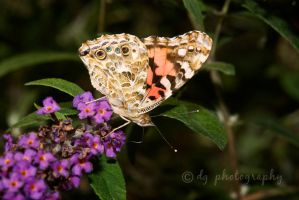 Painted Lady Butterfly 4960 by DG-Photo