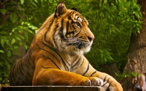 Sumatran Tiger Wallpaper by andy1349