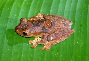 Harlequin Tree Frog by AfroDitee