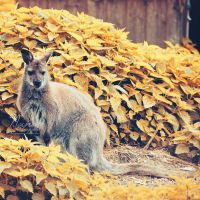 Kangaroo by NanaPHOTOGRAPHY