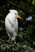 Cattle egret. by Evey-Eyes