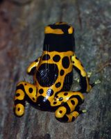 Yellow-banded Dart Frog I by AprilDHallPhoto